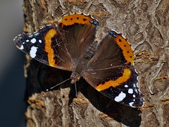 "Red Admiral   ""Vanessa atalanta"" photo by Kay Musk"