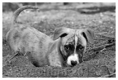staffordshire puppy dogs photo by bo foto