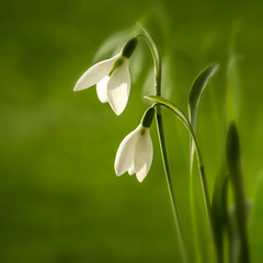 Snowdrop photo by TouTouke - Nightfox