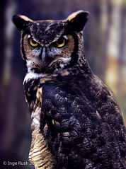 Kellogg Bird Sanctuary: Great Horned Owl (Bubo virginianus) photo by Michigan Transplant