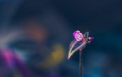 Wandering Jew Flower photo by Michael Caristo
