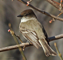 Eastern Phoebe photo by SteveJnerChicago
