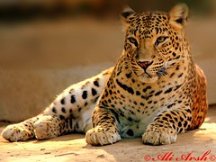Leopard (Female) photo by Arsh_86