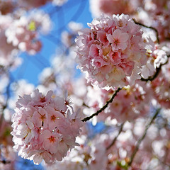 sakura photo by 1crzqbn