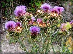 """Little Thistle, wild and wary.....far too careful to be loved by anything at all."" photo by Bennilover"
