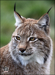 European Lynx photo by Jack the Hat Photographic