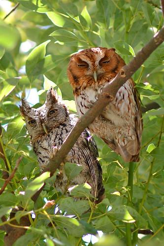 Screech Owls After Breach