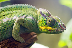 Panther chameleon profile photo by Tambako the Jaguar