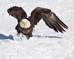 Eagle Charge photo by m_Summers