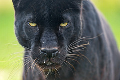Intense looking blacky photo by Tambako the Jaguar