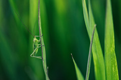 The adventure of baby grasshopper photo by chibitomu