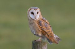 Barn Owl photo by icemelter4