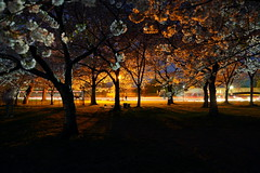 Cherry Blossoms At Night photo by Scott Fracasso Photography