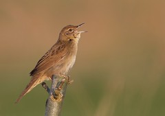 Grasshopper warbler photo by www.paul-green.org