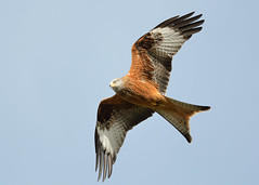 Red kite photo by Shane Jones
