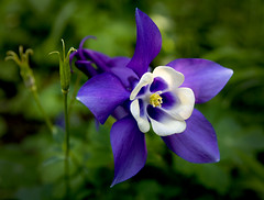 Aquilegia photo by Theresa Elvin