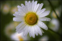 Daisy Rain 158-365 photo by Dan Dewan