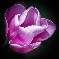 Tulip photo by marianboulogne