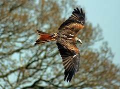 Red kite. photo by Blossom's mom