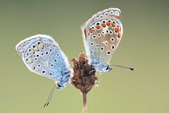 "Polyommatus Icarus / Hauhechelbläuling   ""Couple"" photo by Siegfried Tremel"
