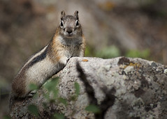 Golden Mantled Ground Squirrel photo by Pragmatic1111