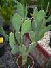 opuntia ficus-indica (figuier de barbarie)