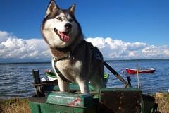 Husky dog Szarka photo by radimersky