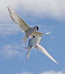 Arctic Terns having a squabble photo by Margaret J Walker