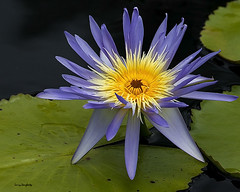Water lily at New Orleans Botanical Gardens........D800 photo by Larry Daugherty ~ Back from long vacation :-)