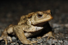 Common toad photo by erikpaterson
