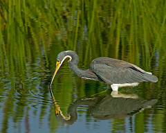 Tricolored Heron Hunting photo by DMF Photography