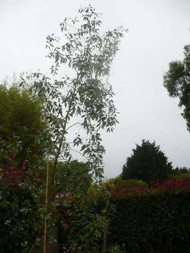eucalyptus.gunnii