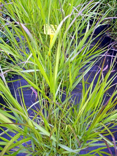 panicum variegata alopecuroide