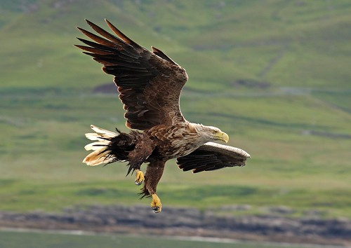 White Tailed Sea Eagle photo by lintonthelion