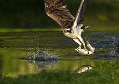 Osprey (Blue XD) fishing with trout in warm light photo by Margaret J Walker