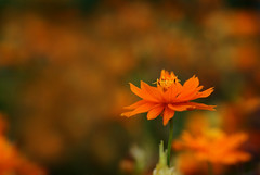 Cosmos photo by j man.