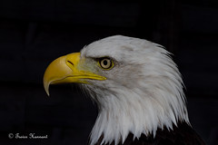 "BALD EAGLE     "" Haliaeetus leucocephalus"" photo by Trevsbirds"