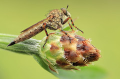 "Robberfly ""Tolmerus cingulatus / Burschen-Raubfliege"" -I- photo by Siegfried Tremel"