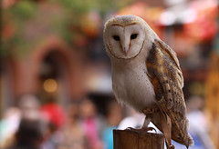 Owl in the city photo by Wilamoyo