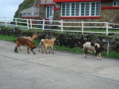 還是有一堆羊