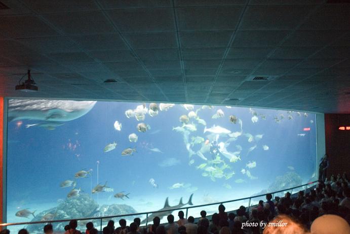 大洋池鯨鯊餵食秀 _ 魚群圍繞著身穿潛水裝的工作人員