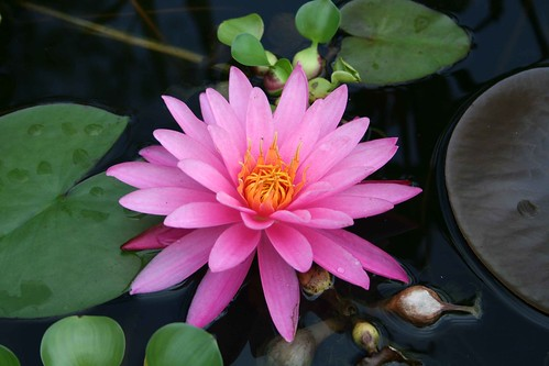 mywaterlily