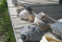 cape lookout, shells