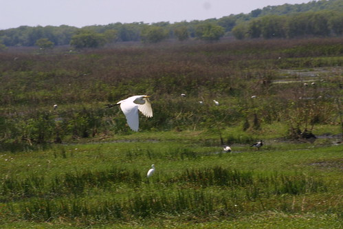 Egret in flight Fogg Dam