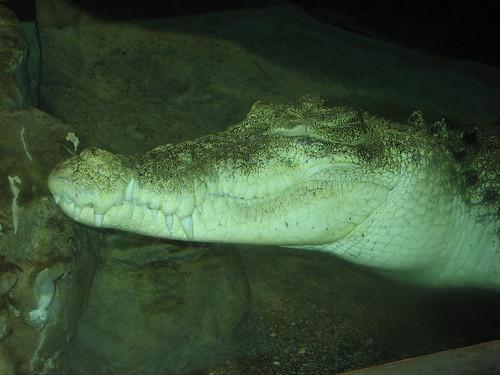 A big Crocodile