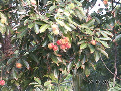 Rambutan Tree (6)
