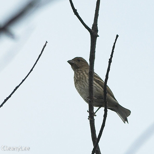 19045 普通朱雀 Common Rosefinch