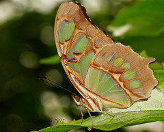 Green butterfly photo by In10ctee