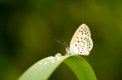 Pale Grass Blue photo by Yorkey&Rin