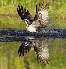 Osprey in water with reflection photo by Margaret J Walker